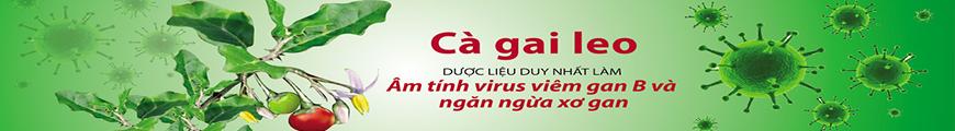 Cây cà gai leo ngăn ngừa bệnh sơ gan